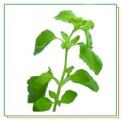 Holy basil 100g VV - Vegetables - 12 - 1